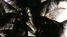 Looking Up At A Backlit Palm Tree With Starbursts, On The Big Island Of Hawaii