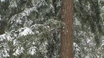 Snow Falling On Trees, S.E. Washington