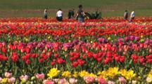 Tulip Field, Time Lapse