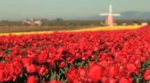 Windmill In Tulip Field
