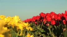 Tulip Field