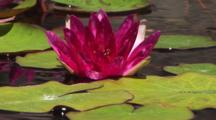 Large Purple Bloom On A Lily Pad In Pond
