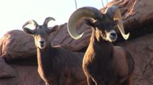 Ram And Doe Bighorn Sheep