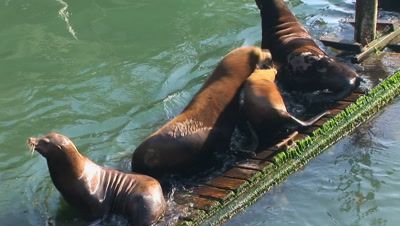 Sea Lions Jostling For Position On An Unsteady Dock