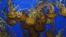 Sea Nettle Jellyfish (Chrysaora)