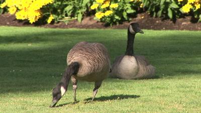 Two Canada Geese, Branta Canadensis, In A Garden, Grazing, Vancouver, British Columbia, Canada.