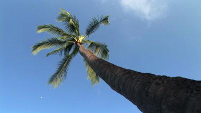 Looking Up At A Palm Tree, Hawaii, Big Island