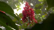 Red Ginger Plant In Heavy Rain