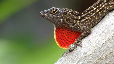 Lizard Mating Behavior