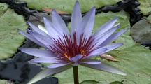Water Lily Close Up