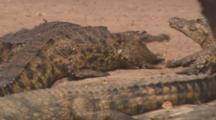 Nile Crocodiles In River Pan To On Shore