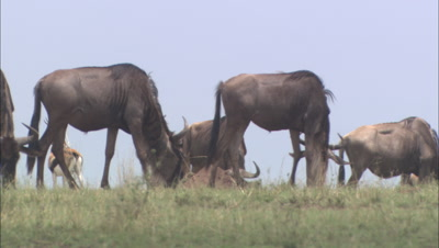 Wildebeests Grazing, Antelope Grooming In Background