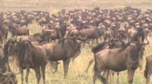 Wildebeests With Zebras