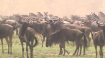 Wildebeest And Zebra Herds