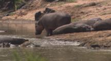 Hippos Gather At Water's Edge