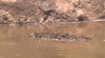 Crocodile Feeds On Carcass