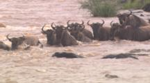 Wildebeest Herd Enter River, Swim Among Crocodiles