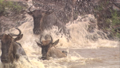 Wildebeest Herd Crosses River, Toward Camera