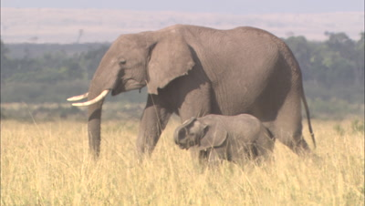 Small Herd Of Elephants Including Calves