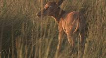 Hartebeest With Calf
