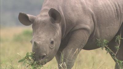 Rhino Mother And Calf Grazing
