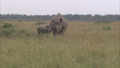 Rhino Mother And Calf Moving Through Grass