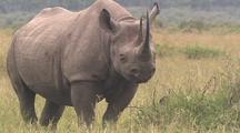 Rhino Mother And Calf Resting