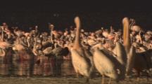 Large Flocks Of Flamingos And White Pelicans
