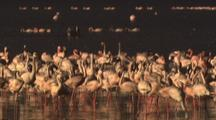 Flamingos Fly Over Large Flock