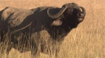 Cape Buffalo Grazing