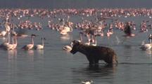Hyena Wades Through Lake, Flamingos In Background