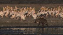 Hyena Walks, Runs Among White Pelicans At Lake