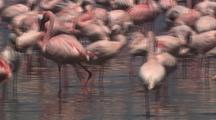 Flock Of Flamingos, Close-Up