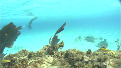 Edge Of Coral Reef, Diver In Background