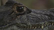 Spectacled Caiman, Close-Up Of Eyes