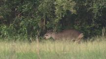 Tapir Walking Through Tall Grass