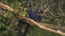 Hyacinth Macaw Pair In Tree, Walk Up Branch