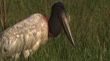 Jabiru Stork In Grass