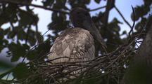 Jabiru Stork Juvenile In Nest