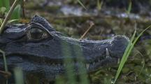 Caiman, Close-Up Of Head, Rack Focus