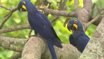 Hyacinth Macaw Pair In Tree