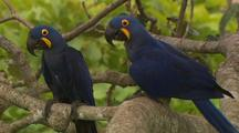 Hyacinth Macaw Pair In Tree, One Flies Away
