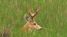 Marsh Deer Buck In Tall Grass