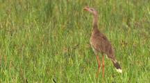 Red-Legged Seriema In Tall Grass