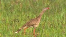 Red-Legged Seriema With Juvenile
