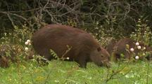 Capybaras And Juveniles Forage In Tall Grass