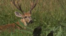 Marsh Deer Buck In Tall Grass, With Birds
