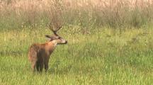 Marsh Deer Buck Walks In Tall Grass
