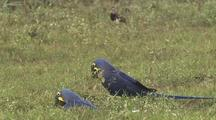 Hyacinth Macaw Pair On Ground