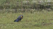 Hyacinth Macaw On Ground, Feeding